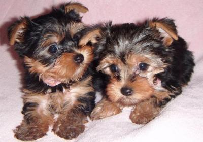 Illinois Yorkie Puppies For Sale